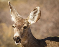 Mule Deer Macro. This is a close head shot of a mule deer roaming the high desert in southern Arizona near Tombstone. The large ears make this animal quite cute stock image
