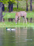 Mule deer and mallards Royalty Free Stock Photo
