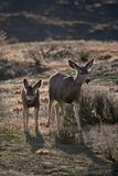 Mule deer mother and fawn Stock Image