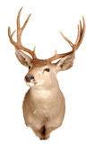 Mule deer mount Stock Photography