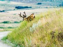 Mule deer in the mountains stock photo