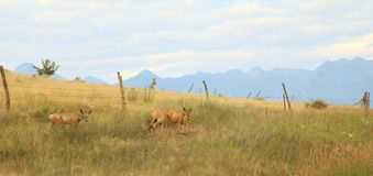 Mule Deer in the Mountains. Three mule deer in the mountains of Montana Stock Photo