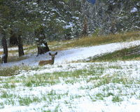 Mule deer in Mueller park Stock Photo
