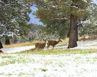 Mule deer in Mueller park Royalty Free Stock Photos