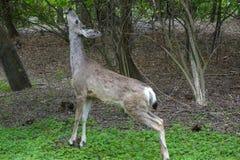 Mule Deer nibbles at tree in Boise, Idaho. Royalty Free Stock Image