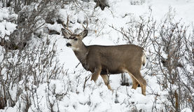 Mule Deer Stock Photos