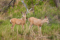 Mule Deer (Odocileus hemionus) in Grasses Royalty Free Stock Photo