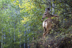 Mule Deer Odocoileus hemionus Stock Photo