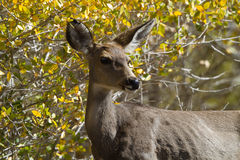 Mule Deer, Odocoileus hemionus Royalty Free Stock Photos