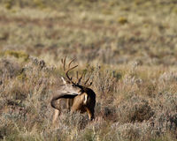 Mule Deer, Odocoileus hemionus Royalty Free Stock Photography