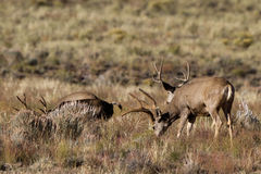 Mule Deer, Odocoileus hemionus Royalty Free Stock Images
