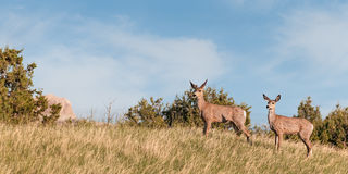 Mule Deer (Odocoileus hemionus) Buck and Doe Royalty Free Stock Photography