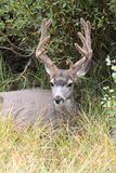 Mule Deer Odocoileus hemionus Buck. In Yellowstone National Park Stock Images