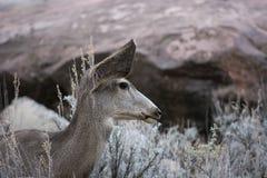 Mule Deer Between Sagebrush and Redrock at Zion National Park. Mule Deer Odocoileus hemionus is Grazing on Sagebrush in Redrock Sandstone Habitat of Zion royalty free stock image