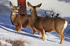 Mule Deer (Odocoileus hemionus) at Rocky Mountain N.P. Two mule deer fce each other in the snow at rocky mountain national park near estes park, colorado Royalty Free Stock Photography
