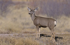 Mule deer, Odocoileus hemionus Stock Photo