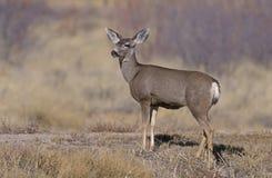 Mule deer, Odocoileus hemionus. Single mammal, New Mexico, USA Stock Photo