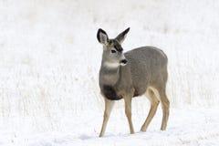 Mule deer in snow. Mule deer Odocoileus hemionus in snow, Yellowstone National Park, Montana. USA Royalty Free Stock Image