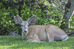 Mule deer Odocoileus hemionus in velvet. The mule deer in the trees with velvet covered antlers or horns is a frequent visitor to many residential yards in Royalty Free Stock Photo