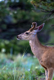 Mule Deer, Odocoileus hemionus Royalty Free Stock Photo
