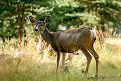 Mule Deer (Odocoileus hemionus) Stock Photography