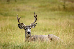 Mule Deer (Odocoileus hemionus) Royalty Free Stock Photography
