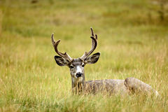Mule Deer (Odocoileus hemionus) Stock Photo