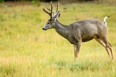 Mule Deer (Odocoileus hemionus). In Yukon, Canada Royalty Free Stock Photos