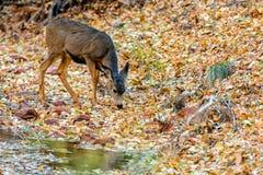 Mule Deer Odocoileus hemionus in Zion National Park. Mule Deer Odocoileus hemionus drinking in Zion National Park Royalty Free Stock Photography