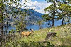 Mule Deer - Okanagan Lake Royalty Free Stock Photography