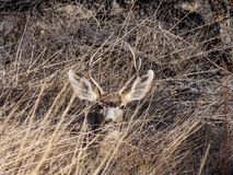 Mule Deer Peek a Boo. Young Mule Deer Buck, laying the grass. Hidden among the tall prairie grass, on a early winter morning.Taken near Pueblo Colorado. The mule stock images