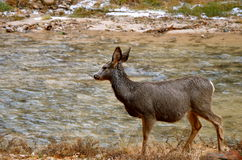 Deer. Mule Deer photographed at a small river in the national park of Zion Stock Images