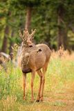 Mule Deer Portrait Royalty Free Stock Photos