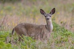 Mule Deer Portrait. Mule Deer looking back, taken at Point Reyes National Seashore, California Stock Photography