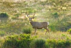 Mule deer pose Royalty Free Stock Photos