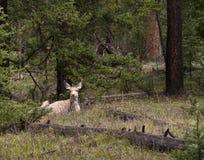 Mule Deer Resting Stock Image