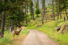 Mule Deer on Road Royalty Free Stock Photos