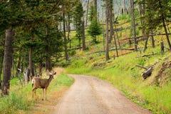 Mule Deer on Road. Young mule deer looking down dirt road in Yellowstone royalty free stock photos