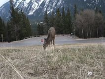 A mule deer in the rocky mountains. Wildlife as seen at banff in the springtime stock video