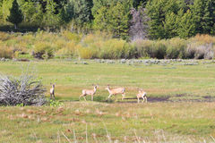 Mule deer Royalty Free Stock Photo