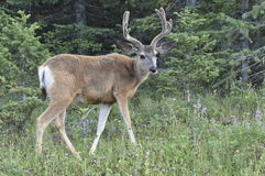 Mule Deer. Shot in Montana at sunset Stock Photography