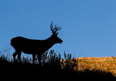 Mule Deer Silhouette Royalty Free Stock Images