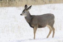 Mule deer in snow. Mule deer Odocoileus hemionus in snow, Yellowstone National Park, Montana. USA Royalty Free Stock Images