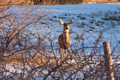 Mule Deer in Snowy Field Stock Image