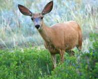Mule Deer Spots Camera Royalty Free Stock Photo