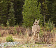 Mule Deer. In spring eating grass Stock Photography