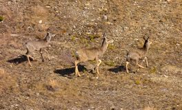 Mule deer in the springtime Royalty Free Stock Images