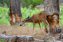 Mule deer and tree trunks gnawed by beaver, Zion Ntl Royalty Free Stock Photography