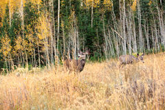 Mule Deer in the Uinta Mountains. Stock Photography