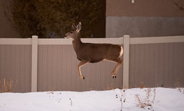 Mule deer in urban area Stock Photography